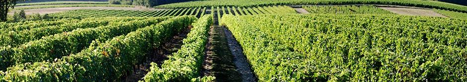 vignes de la cave monplaisir chinon domaine de l'abbaye